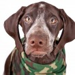 Stock Photo: Germshort-haired pointer