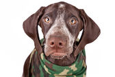 German short-haired pointer — Stock Photo