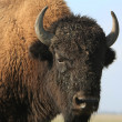 Stock Photo: Close-up buffalo