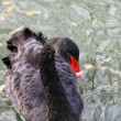 Stock Photo: Close-up of black swan