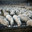 Herd of sheeps — Stock Photo