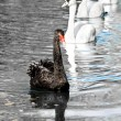 Black swan — Stock Photo #1016007