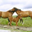 Stock Photo: Horses family