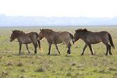 Wild horse-tarpan — Stock Photo
