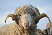 Cloe-up sheep — Stock Photo
