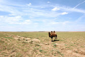 Camel in the Gobi desert — Stock Photo