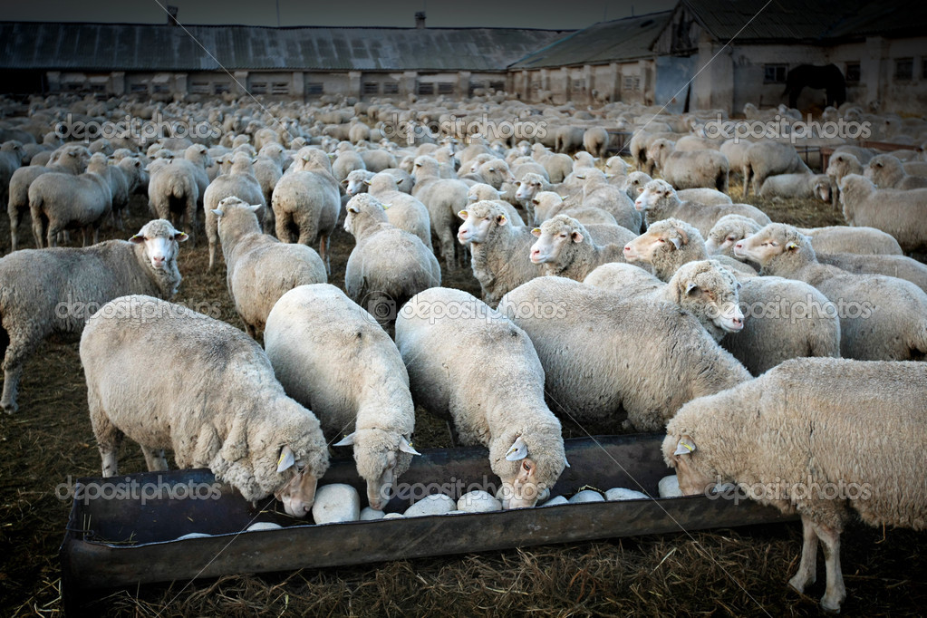A herd of sheeps in the rural farm — Stock Photo #1014893