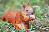 Squirrel with a nut — Stock Photo