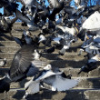 Flock of Pigeons — Stock Photo