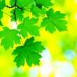 Green leaves — Stock Photo #1006782