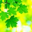 Royalty-Free Stock Photo: Green leaves