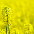 Rape flower — Stock Photo #1014367