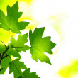 Green leaves — Stock Photo #1015261