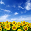 Sunflower field — Stock Photo #1016441