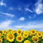 Sunflower field — Stock Photo #1016441