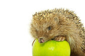Hedgehog and apple — Stock Photo