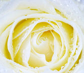 White rose — Stock Photo