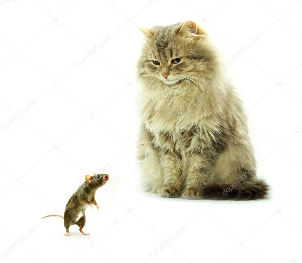 Funny rat and cat  isolated on white background — Stock Photo #1015171