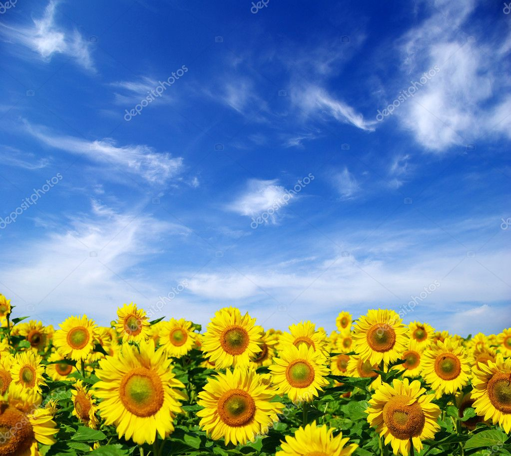 Sunflower field over cloudy blue sky — Stock Photo #1016441