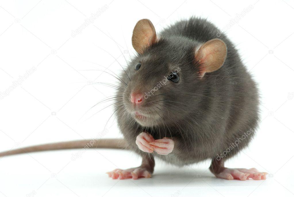 Мышь приснилась толстая и белая беременной