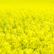 Rape flower — Stock Photo