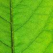 Structure of leaf — Stock Photo
