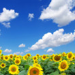 Sunflower field — Stock Photo #1595400