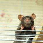 Rat — Stock Photo