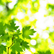 Green leaves — Stock Photo #1625204