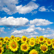 Sunflower field — Stock Photo #1626505