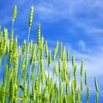 Wheats field — Stock Photo #1628392
