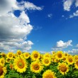 Sunflower field — Stock Photo #1628839