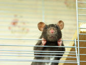 Rat — Stock Photo