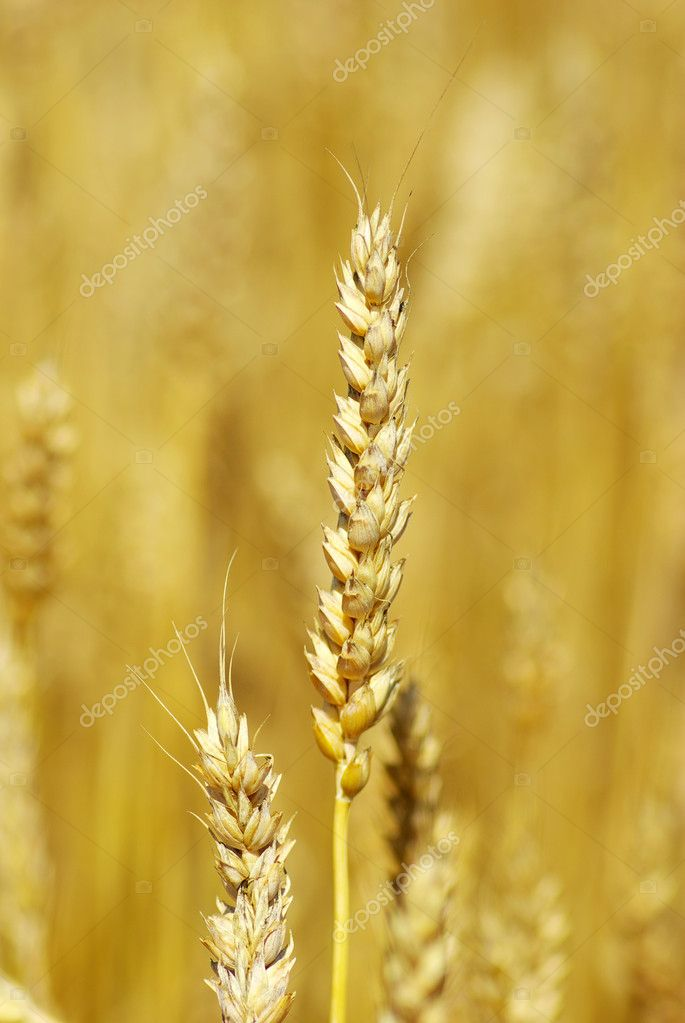 Grain ready for harvest growing in a farm field — Stock Photo #1624046
