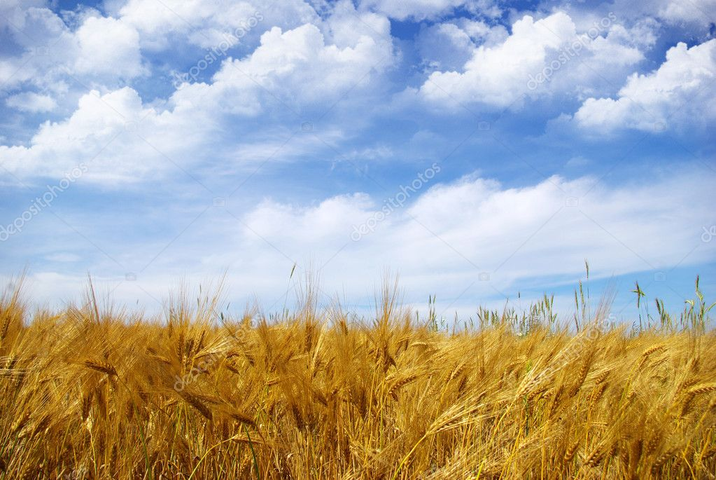 Wheat ears against the blue  sky  Stock Photo #1627934