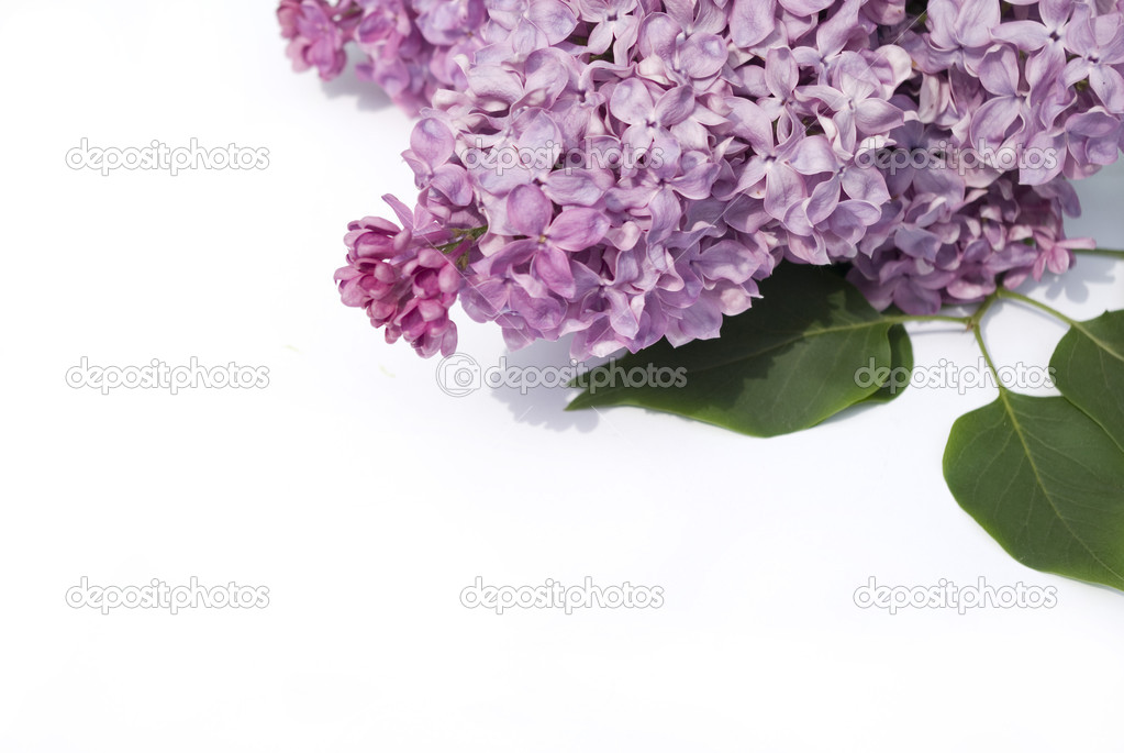Lilac flower isolated on white background — Stock Photo #1628693