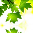Green leaves - 图库照片