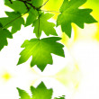 Green leaves - Foto de Stock