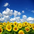 Royalty-Free Stock Photo: Sunflower field