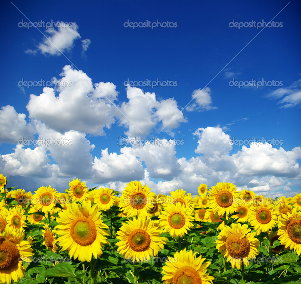 Sunflower field over cloudy blue sky — Stock Photo #2044242
