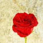 Rose on grunge background — Stock Photo