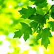 Green leaves — Stock Photo #2072957