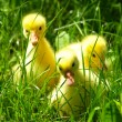 Stock Photo: Gosling in grass