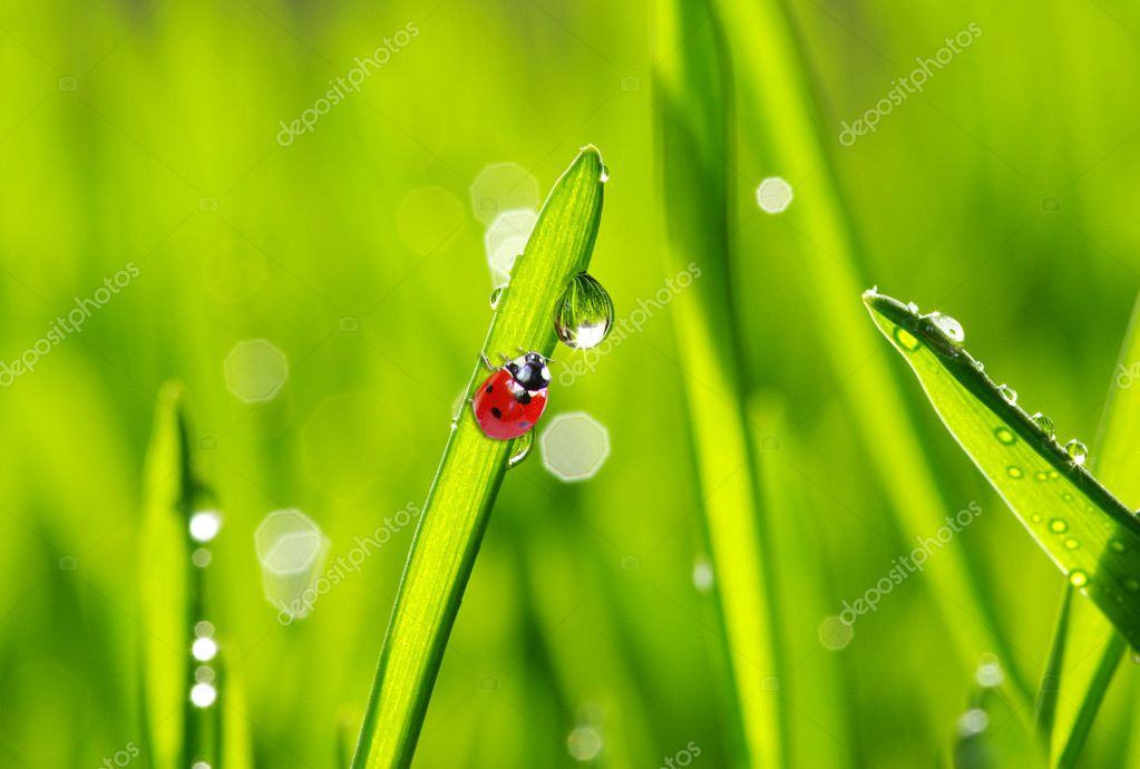 red ladybug on green grass isolated — Stock Photo #2073039
