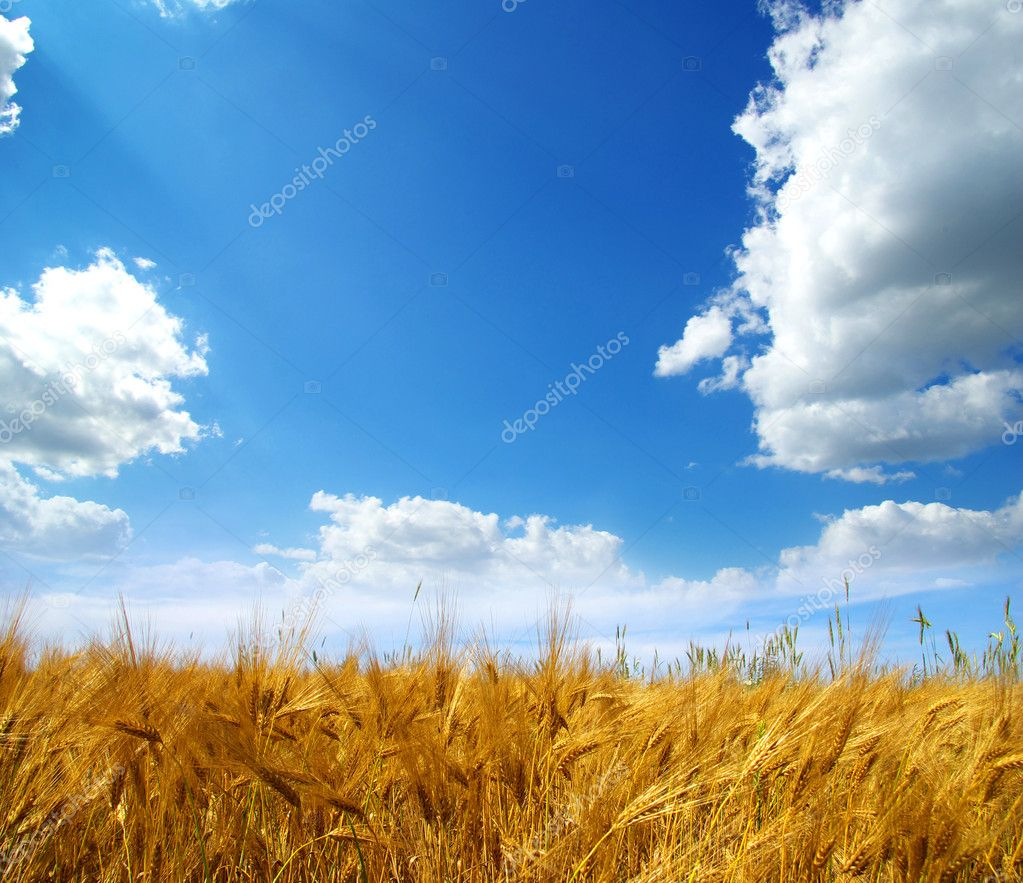Wheat ears against the blue  sky  Stock Photo #2073894