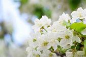 цветение сакуры — Стоковое фото