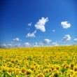 Sunflower field — Stock Photo #2121651