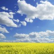 Rape field — Stock Photo #2183005