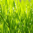 Drops on grass — Stock Photo #2184381