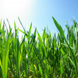 Grass — Stock Photo #2184386